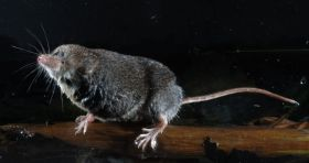 How water shrews find prey in the dark