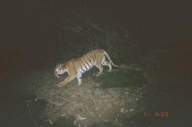 Hukaung Tiger