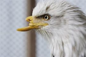 Idaho team readies artificial beak for wounded bald eagle (AP)