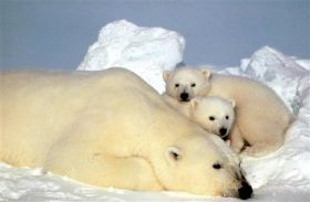 IG Looks at Delays in Polar Bear Listing (AP)