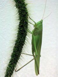 Katydid (N. Triops)