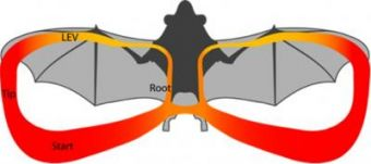 Leading edge vortex allows bats to stay aloft