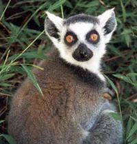 New satellite imaging research could save the lemur in Madagascar