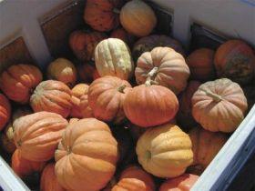 'Orange Buldog' Pumpkin
