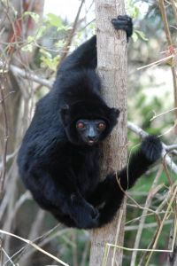 Perrier's Sifaka