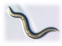 Pheromones enhance sex, slow aging -- in worms