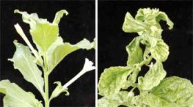 Plant virus spreads by making life easy for crop pests