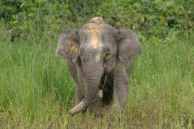 Pygmy Elephant with Radio Collar
