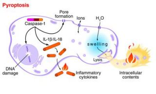 Pyroptosis: How a Dying Cell Sounds an Alarm