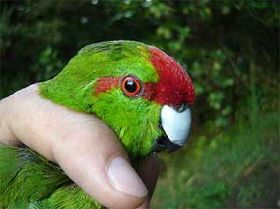 Rare parakeets to populate gulf islands