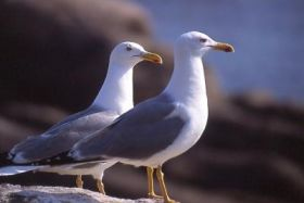 Seagull blood shows promise for monitoring pollutants from oil spills