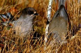 Siberian jays can communicate about behavior of birds of prey