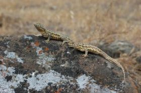 Side-Blotched Lizards