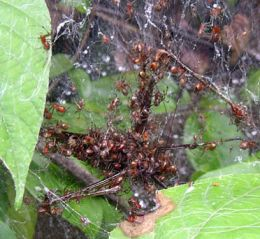 Social Spiders - Huge Prey