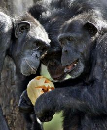 Study: Chimps calm each other with hugs, kisses