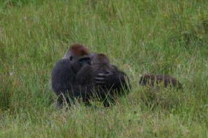Study garners unique mating photos of wild gorillas