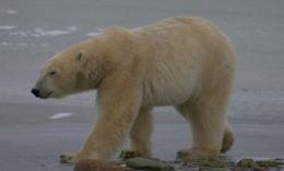 Sub-adult Male Polar Bear