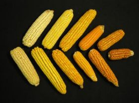 Team finds an economical way to boost the vitamin A content of maize