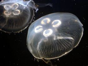 Touching research: To improve robots, researcher eyes jellyfish