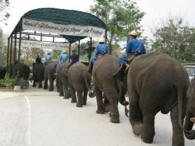 Uncertain future for elephants of Thailand