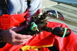UNH researchers track lobster migrations to improve population estimates