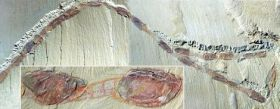 Unique fossils capture 'Cambrian migration'