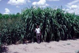 Wanted: A Viable Arizona Biofuel Crop