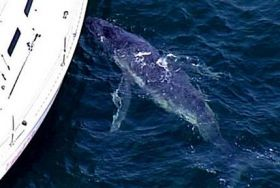 Whale calf lost in Sydney waters, bonds with yacht (AP)