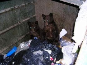 When bears steal human food, mom's not to blame