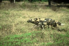 Wild dogs reveal nature's 'poverty trap'
