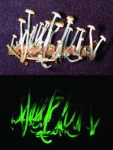 7 new luminescent mushroom species discovered