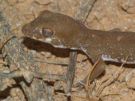 Genetic study finds treasure trove of new lizards