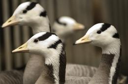 Invigorated muscle structure allows geese to brave the Himalayas: research