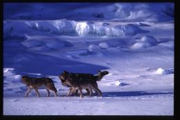 Bone Deformities Linked to Inbreeding in Wolves of Isle Royale