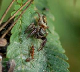 Herbivory discovered in a spider