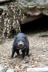 Nervous culprit found for Tassie devil facial tumor disease