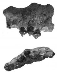 New fossil tells how piranhas got their teeth