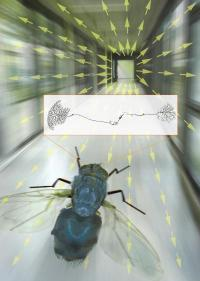 Robotics insights through flies' eyes