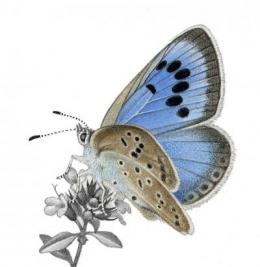 Scientists publish the discoveries that saved the large blue butterfly