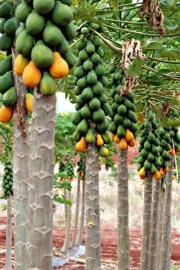 Researchers to perform sex change operation on papaya
