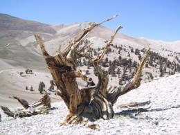 Ancient high-altitude trees grow faster as temperatures rise