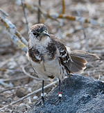 Darwin's mockingbirds DNA research may help species recovery