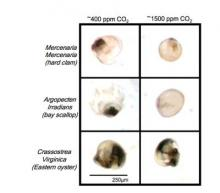 Ocean acidification may contribute to global shellfish decline