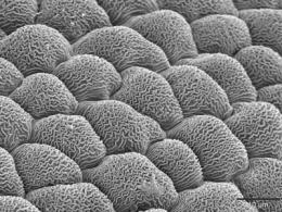 Study sheds light on microscopic flower petal ridges