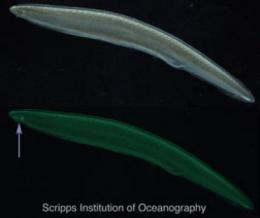 Unusually large family of green fluorescent proteins discovered in marine creature