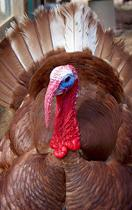 Probing Question: What is a heritage turkey?