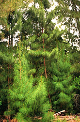 Scientists Find Evidence of Casuarina Hybrids