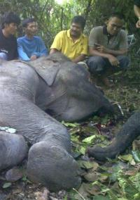 2 rare elephants found dead in Indonesian jungle (AP)