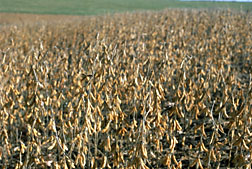 Scientists Find Ozone Levels Already Affecting Soybean Yields