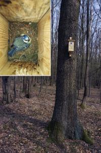 Housing shortage alters reproductive behaviour in blue tits